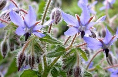Originaire d'Afrique du Nord, elle est connue pour ses vertus depuis le Moyen Âge. Elle s'acclimate dans tous les jardins, en particulier au potager. Ses fleurs s'ouvrent en mai-juin et se renouvellent tout l'été en haut des tiges dressées. Elles offrent un bleu très lumineux qui ressort …