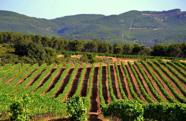 Bodegas Maset vineyards, Spain