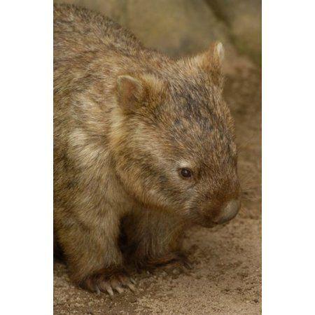 Common Wombat Marsupial Australia Canvas Art - Pete Oxford DanitaDelimont (19 x 29)