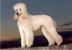 Poedel – standaard – Rassen - Hondenplaza