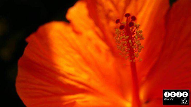 Macrofotografie foto's zijn gemaakt met een Macro filter. #Macro #Photography #Hibiscus #Bloemen #Flower #JaJoFotografie