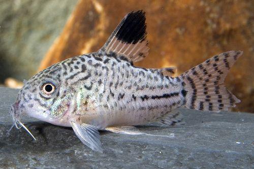 Catfish - Corydoras - SegrestFarms Small Animal Wholesale and Saltwater Fish Wholesale - Segrest Farms