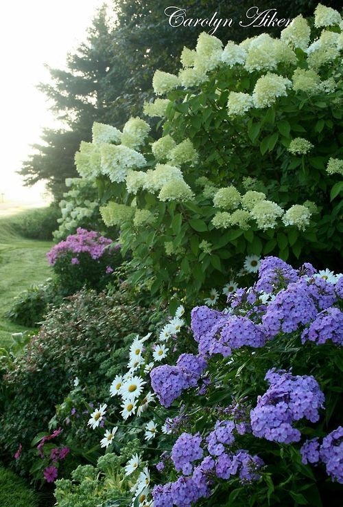 642 Best Images About Hydrangea Paniculata! On Pinterest