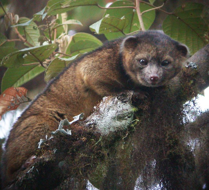 The olinguito is a mammal of the raccoon family Procyonidae that ...