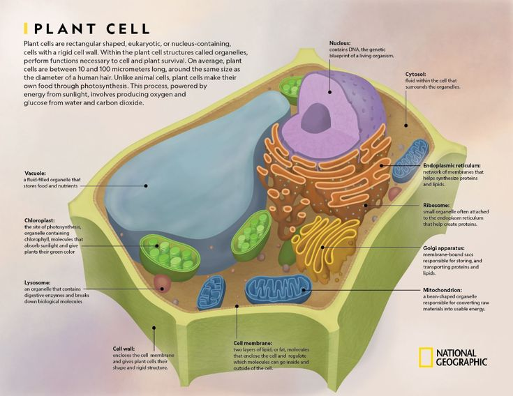 Learn all about plant cells with this printable ...