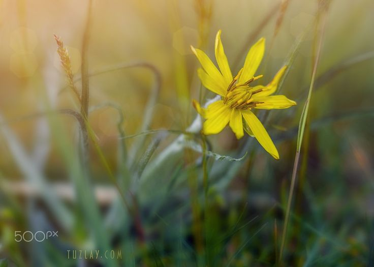 """Crepis in grass - From the series """"Vegetation of the Taman Peninsula"""". (2017)"""