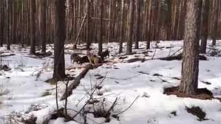Смотреть онлайн видео охота на кабана с лайками, видео