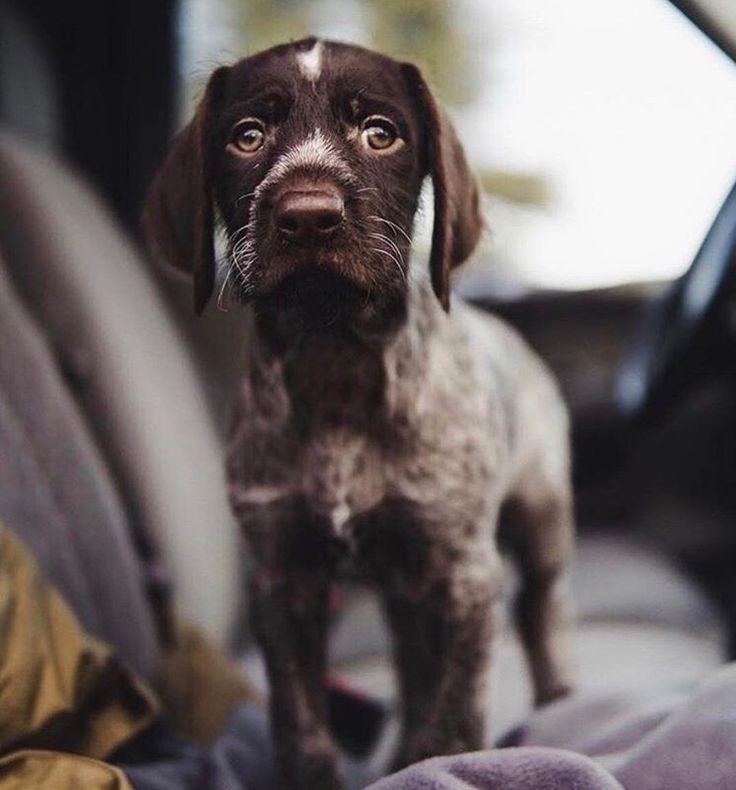 German Short-haired Pointer Puppy