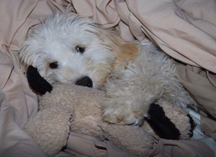 Spoodle - sleepy