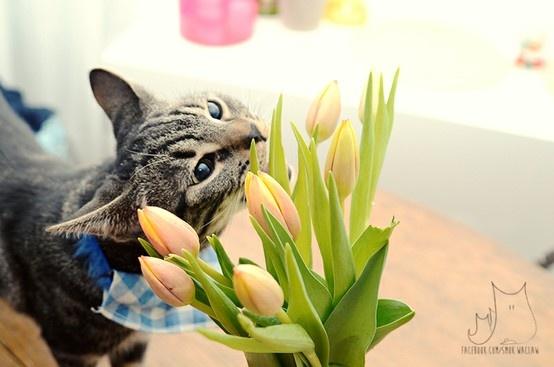 Ryś on international women's day #cat #tulips
