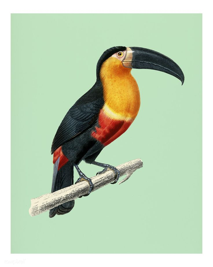Toucan (Ramphastos) illustrated by Charles Dessalines D' Orbigny (1806-1876). Digitally enhanced from our own 1892 edition of Dictionnaire Universel D'histoire Naturelle.