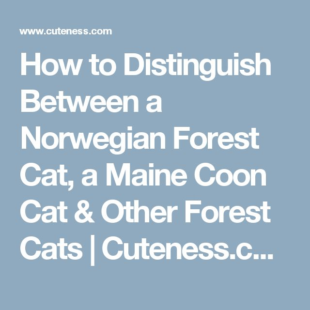 How to Distinguish Between a Norwegian Forest Cat, a Maine Coon Cat & Other Forest Cats | Cuteness.com