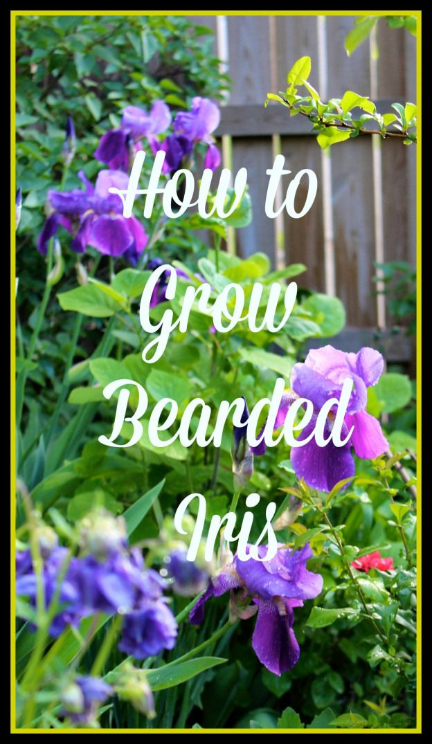 Ever wondered who to grow bearded iris, those majestic beauties of the late spring garden. Here's how: