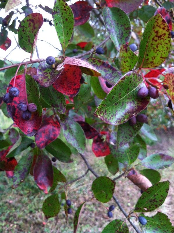 Free Plant Identification With Images Autumn Leaf Color Deciduous Trees Tupelo