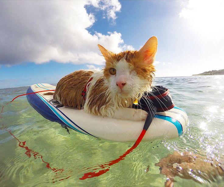 Одноглазый кот покоряет волны на Гавайях
