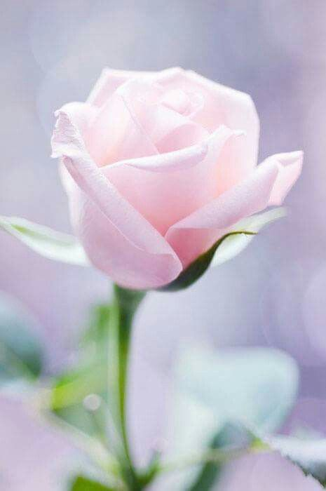 Pastel light rose.