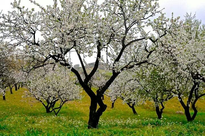 Mandorlo in fiore, Sicilia /Almonds tree in Bloom