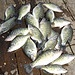 Reelfoot Lake Crappie Fishing Guide Serivce - 731-446-3990     Make the most of your fishing experience by learning equipment tips.
