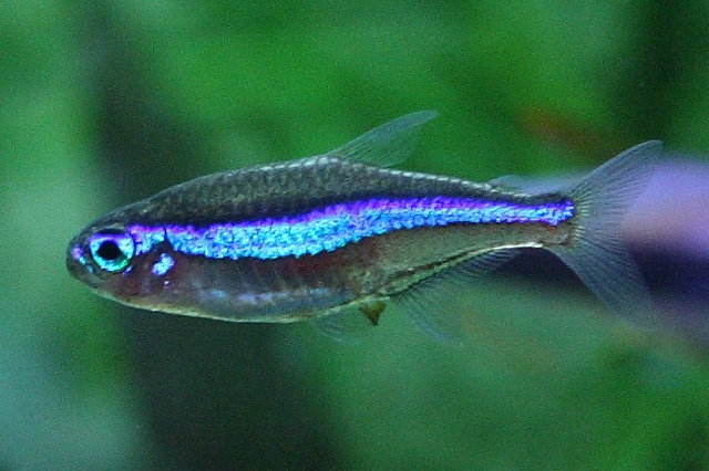 green neon tetra. most do not look like this but theyre still cool -- Paracheirodon simulans