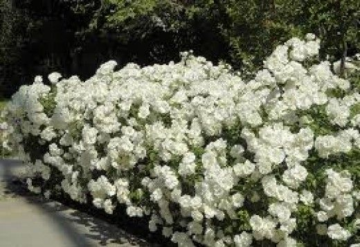 Iceberg roses--easy care roses. Described as shade tolerant (4hrs sun daily). I have a place for these!