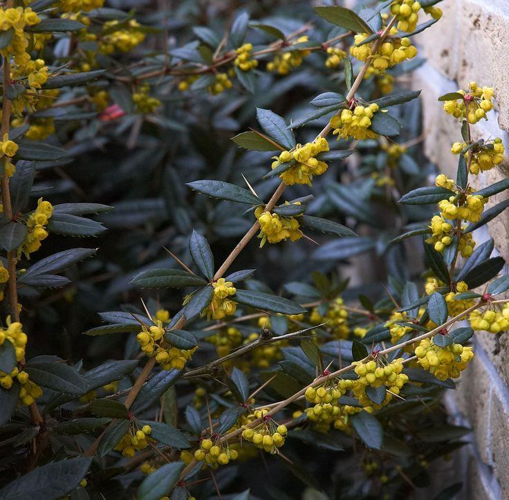 BERBERIS julianae - épine de julien Persistant, floraison jaune en grappe à la fin de l'hiver, croissance rapide, taille après floraison ou fructification, 2 à 3 * 2 à 3. Tous sol et humifère. Haie défensive (persistante !), jeune feuille orangée, coloration automnale orange,  fructification automnale bleu allongée