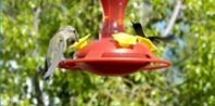 Making hummingbird feeder nectar is quite easy. Mix four parts of water with one part of regular white sugar. You can boil the water and add...