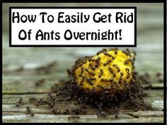 How To Easily Get Rid Of Ants Overnight! Borax ant bait  Borax is the most common ingredient in house ant control products, and get this: it's absolutely 100% natural. The best way (in my opinion) to use Borax is to mix 1 cup of warm water with 1/2 cup of sugar, and 2 tablespoons of …
