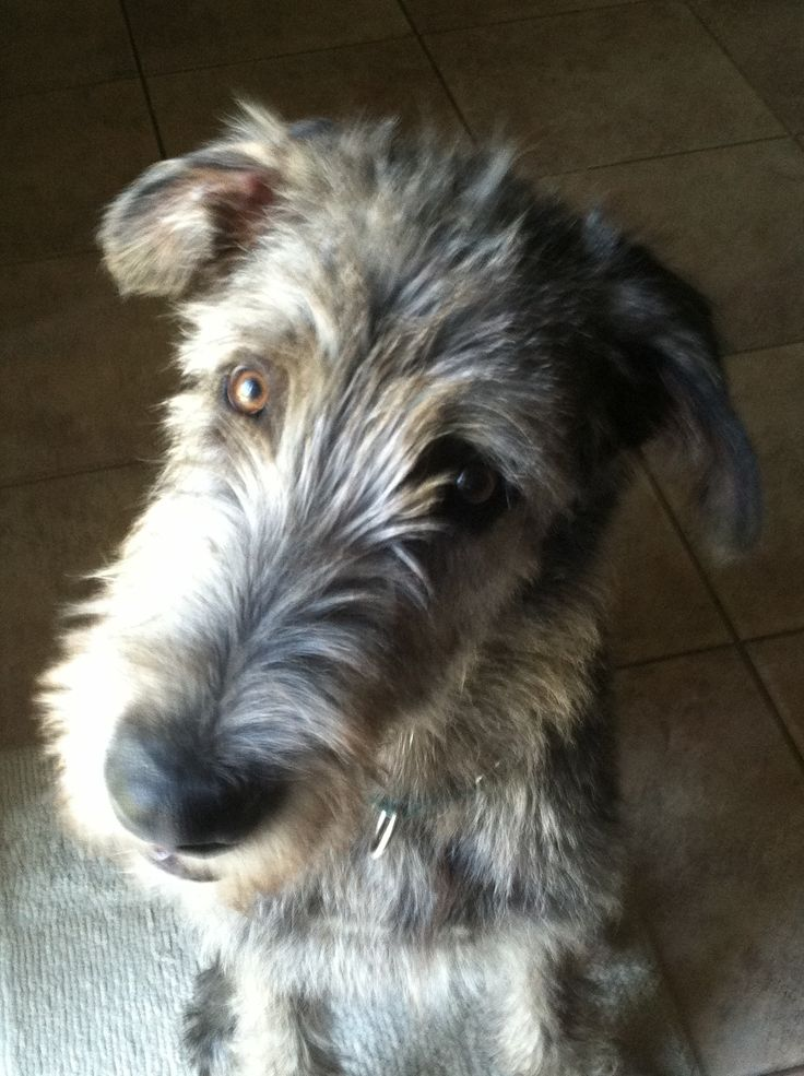 Jack Irish Wolfhound, 5 months Irish wolfhound