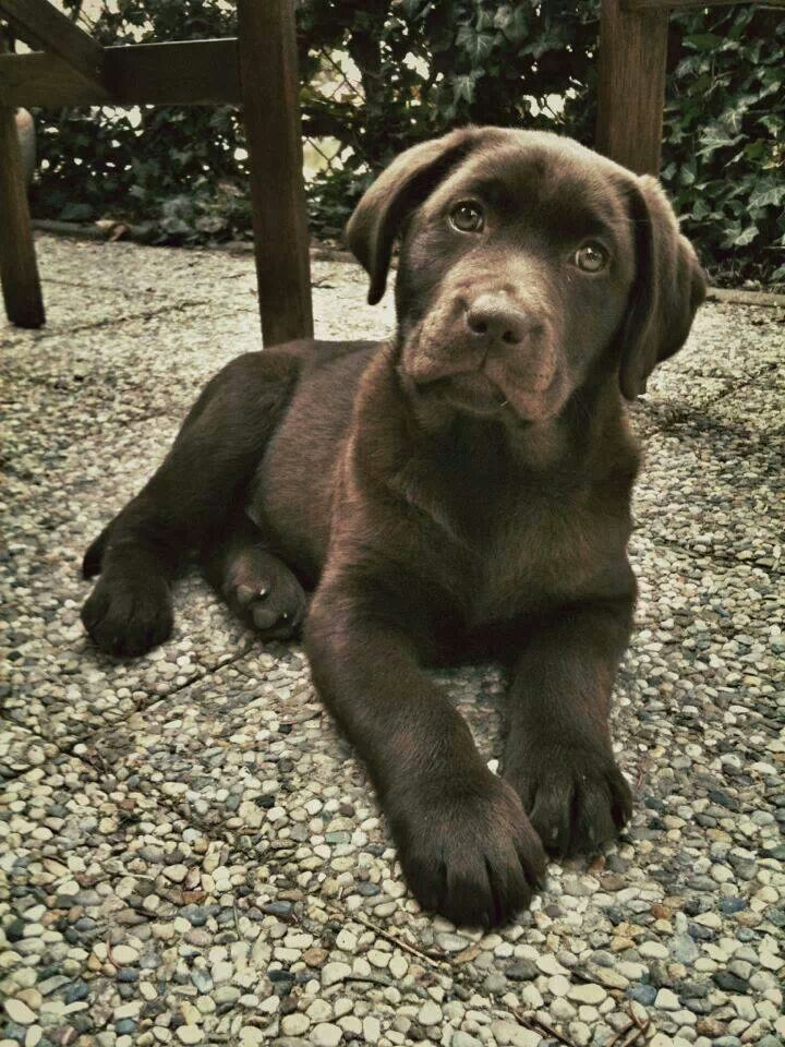 Beautiful Chocolate Lab Labrador Retriever Pinterest Labs
