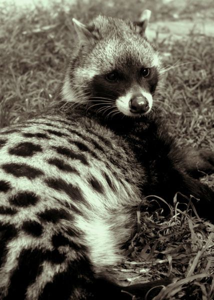 An African Civet Via Etsy These Stunning Animals Look A
