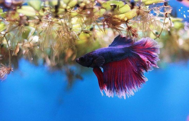 Москванариум.  Бойцовая  рыбка.