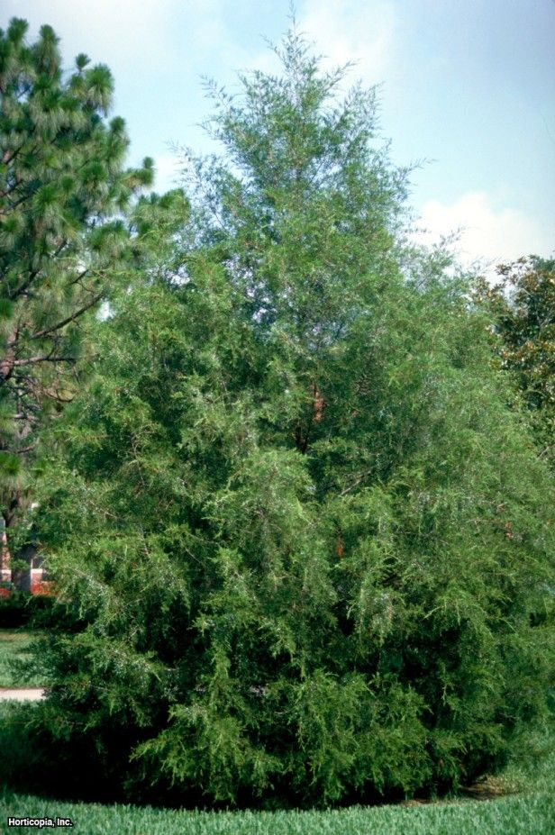 Red Cedar Tree Varieties ~ Best images about attract songbirds on pinterest