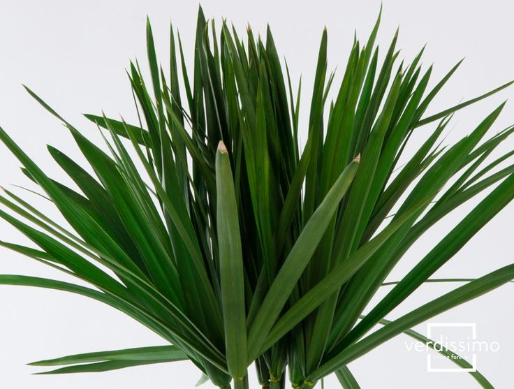 Papyrus  Inspiration: The papyrus has many possible applications, such a joining small groups of stems into a wetland-feel or as a solitary stem in a slim vase. When used it creates a highly decorative, sculptural and minimalistic effect.