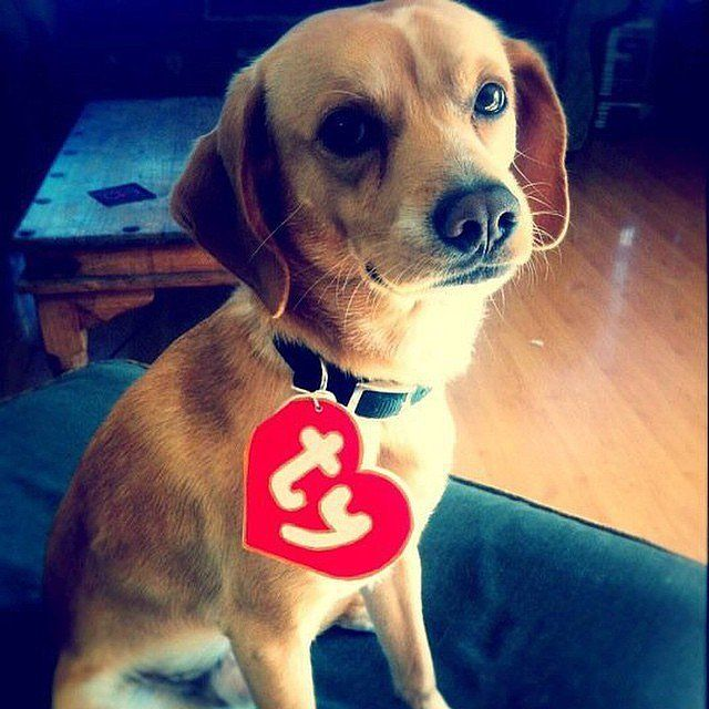 """Molly as a beanie baby... She could handle this """"costume.""""  :)  32 DIY Costumes That Will Make Everyone Jealous of Your Cute Dog: Halloween isn't just for humans — it's a time to get your dog in the spirit, too."""