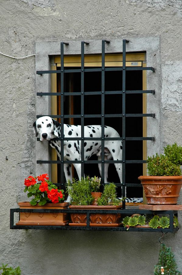 """Dalmation guarding a house in Tuscany, Italy"" ---- [Photographer Peter Visima - October 4 2005]'h4d'120830"