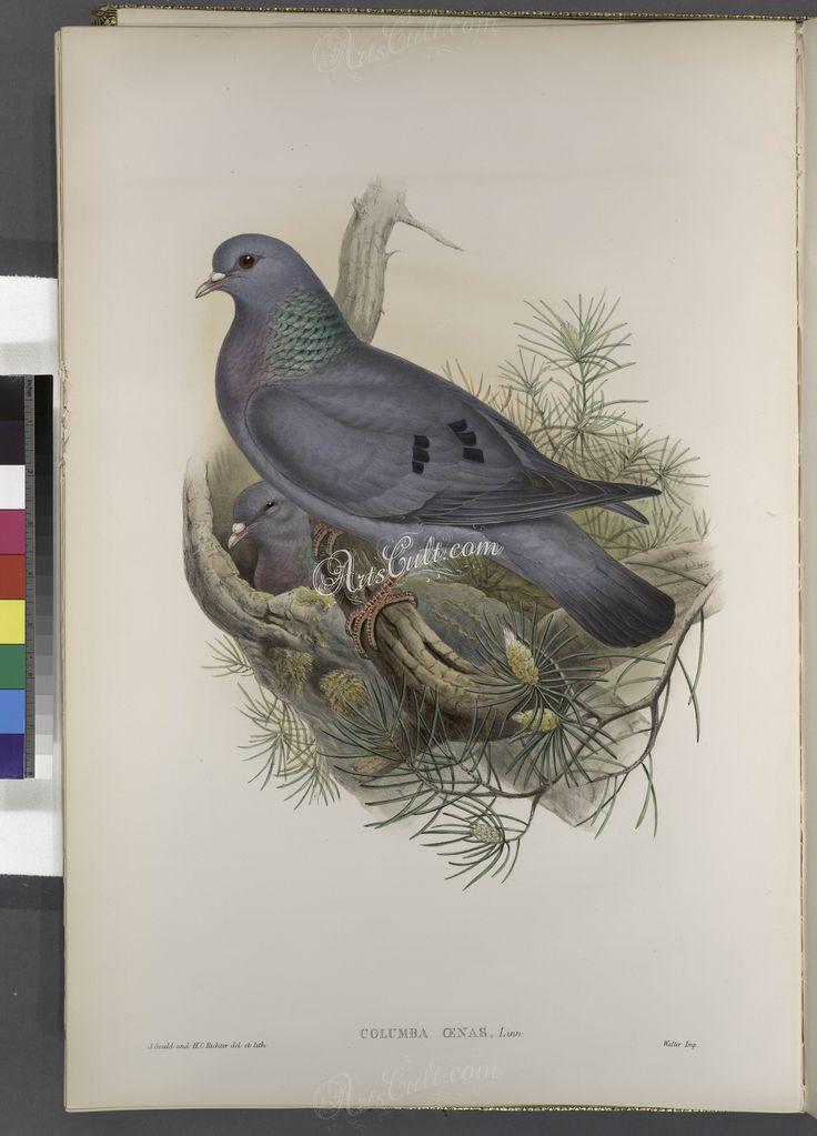 205-Columba oenas. Stock-Dove      ...