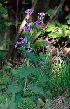 Lunaria annua Honesty, Annual honesty, Silver Dollar, Moneywort, Moonwort, Penny Flower, Money Plant