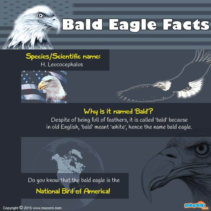 Bald Eagle Facts - Do you know that the #baldeagle is the National Bird of America? For more interacting #Generalknowledge article for kids, visit: http://mocomi.com/learn/general-knowledge/