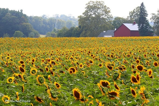 field of sunflowers in pennsylvania