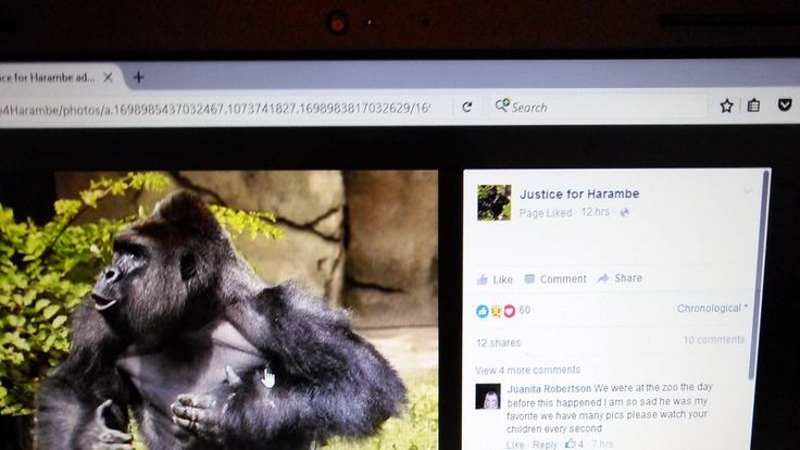 On May 28,2016 a 4 year old boy was able to crawl through a barrier in the Gorilla enclosure and fell an estimated 10 to 12 feet into the most surrounding the habitat. The 17 year old male who Stern lowland Gorilla named Harambe got ahold of the boy and was dragging and throwing the boy. The zoo made...