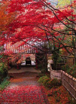 Red maple leaves (紅葉・もみじ)