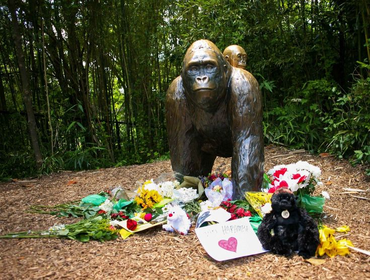 El incidente en el Zoológico de Cincinnati en el que un gorila debió ser sacrificado para proteger a un niño de cuatro años que de algún modo logró ingresar al espacio cerrado donde están resguardados allí esos grandes primates ha desatado una intensa polémica en Estados Unidos.