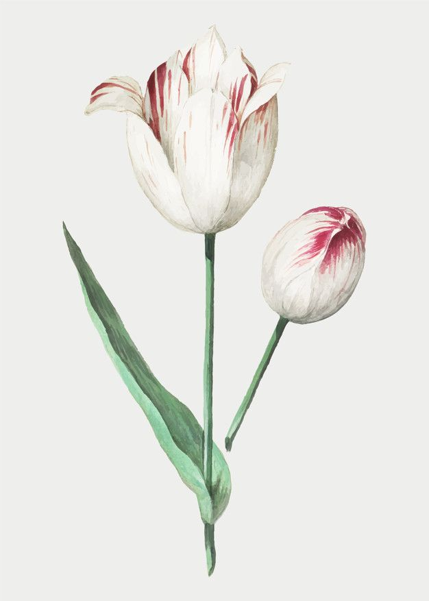 Download Tulip In Vintage Style For Free Flower Illustration Tulips Flowers Vintage Flowers