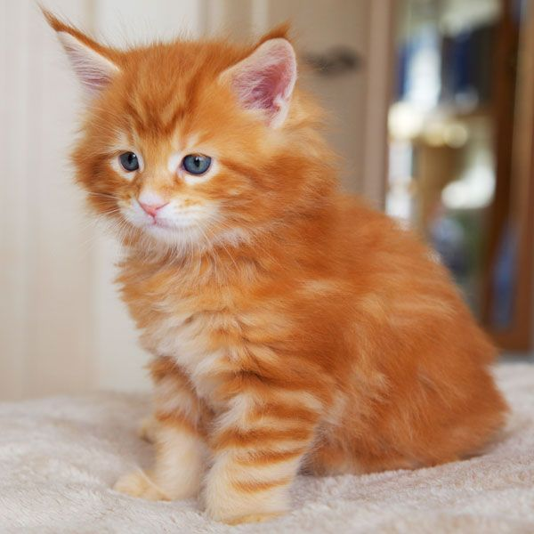 Maine coon kittens seattle sale