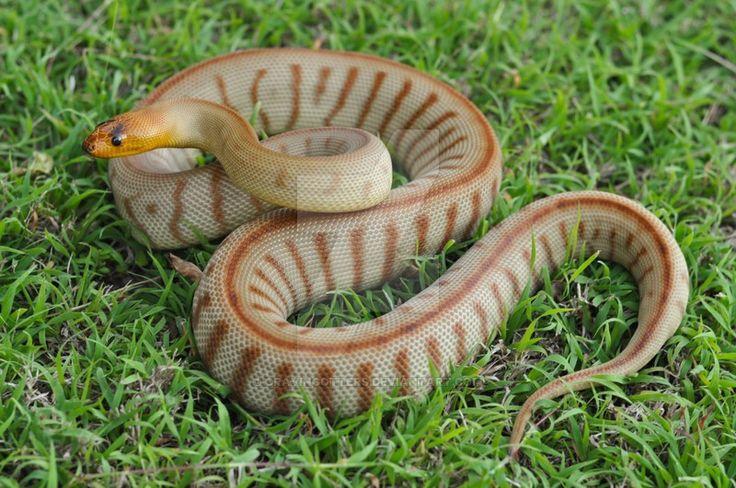 Pinstripe Woma Python by cravingotters.deviantart.com on @DeviantArt