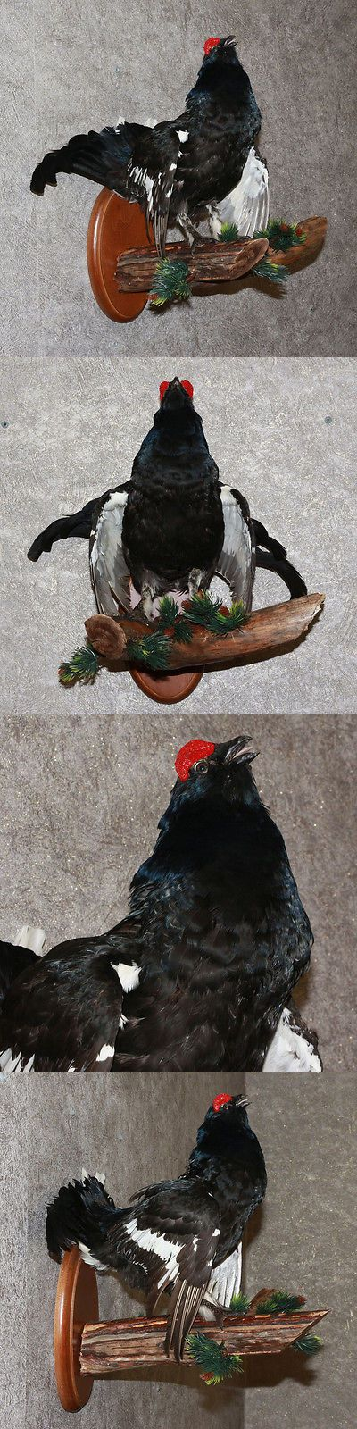 Birds 71123: Eurasian Black Grouse - Taxidermy Bird Mount, Stuffed Bird For Sale BUY IT NOW ONLY: $235.0