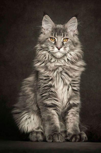 Les 50 plus beaux chats du monde en photos