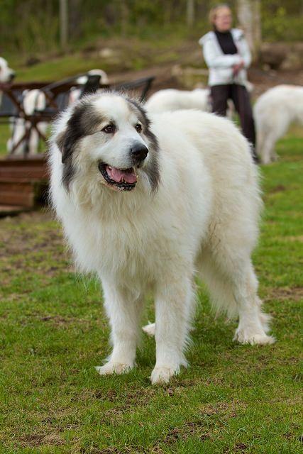 Gran Pirineo, es una raza de perro grande y majestuosa, usada tradicionalmente para proteger ganado en los pastos y como perro guardián.