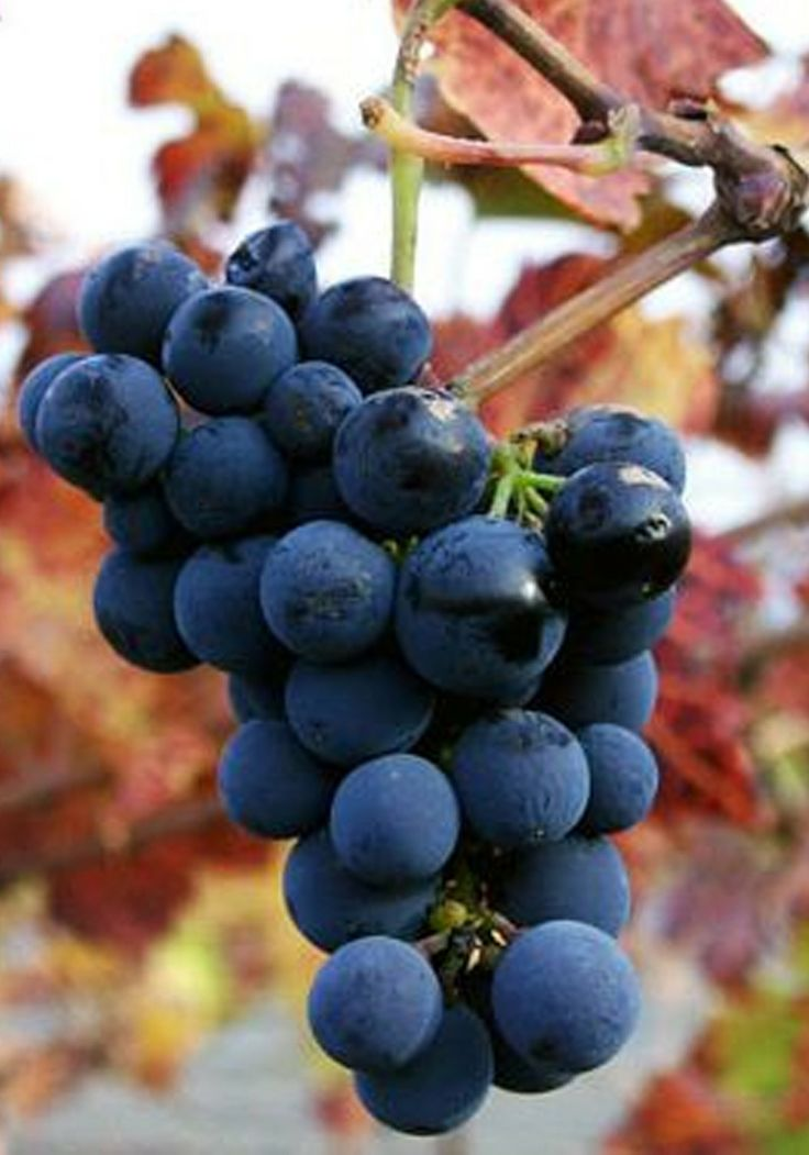 Ever been picking for grapes in Sonoma? The best fruit picking areas in the country!