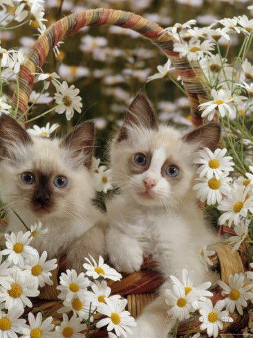 So cute! ~ Domestic Cat, Birman Kittens in Wicker-Basket Among Daisies ~  Photographic Print by Jane Burton